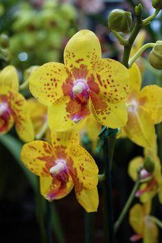 Phalaenopsis Taisuco 'Date'