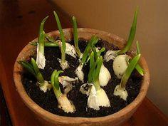 Here's How To Grow An Endless Supply Of Garlic Indoors. Along with green onions, garlic is one of the best health-friendly plants you can grow at home. It is super-easy and super-cheap. You may not like its taste and odor, but eating a whole garlic bulb Growing Veggies, Growing Herbs, Growing Garlic From Cloves, Green Onions Growing, Multiplication Végétative, Planter Ail, Organic Gardening, Gardening Tips, Indoor Gardening