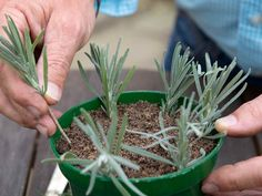Gardening Advice For A Luscious, Healthy Garden Growing Lavender, Growing Roses, Growing Plants, Lavender Plants, Home Vegetable Garden, Herb Garden, Garden Tools, Organic Gardening, Gardening Tips