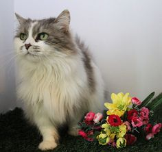"Pebbles is an adoptable Ragdoll Cat in Methuen, MA. Thanks to the Ivan Smith Adoption Challenge, my Adoption Fee is waived  July 1-July 31 st  as part of our ""Declare Your Love' Adoptathon for Senior ..."