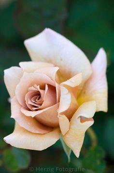 "'Julia's Rose, FL, HT rose. William E. (""Bill"") Tysterman (United Kingdom, 1976) | © Tina & Horst Herzig"