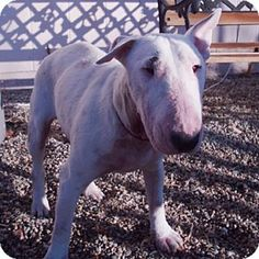 Pictures of Lucky a Bull Terrier for adoption in Los Angeles, CA who needs a loving home. All Dogs, I Love Dogs, Best Dogs, English Bull Terriers, Best Dog Breeds, Adorable Dogs, Bullies, Dog Stuff, Animal Rescue