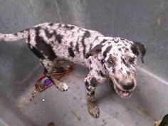 A188737 is an adoptable Catahoula Leopard Dog Dog in Conroe, TX.  ...