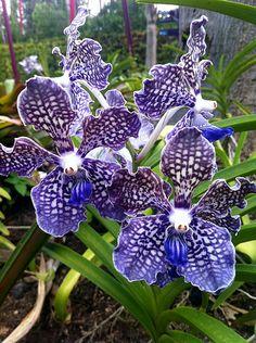 Blue Vanda Orchids, Singapore by Erika Villa, via Flickr