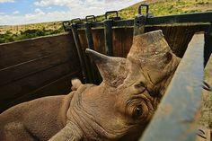 Kenia. La organización Lewa Wildlife ha trasladado a once de los 73 rinocerontes negros en vías de extinción que tiene bajo su cuidado a la provincia de Borana, al norte del país, para que se reproduzcan en espacios más abiertos y protegidos.