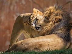 Oshana nuzzles up to Izu in Lion Camp at the Safari Park.