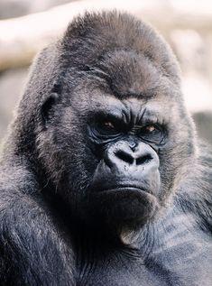 Gorilla by Dusica Paripovic - Photo 264215845 / Silverback Gorilla, Chimpanzee, Orangutan, Big Animals, Animals And Pets, King Kong, Big Cats, Animal Kingdom, Tatoo
