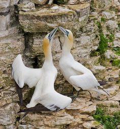 The Northern Gannet (Morus bassanus) is a seabird, their breeding range is the North Atlantic.