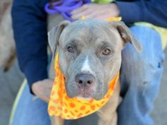 TO BE DESTROYED - 12/15/14 Brooklyn Center - P  My name is TIMMY. My Animal ID # is A1022418. I am a neutered male br brindle pit bull mix. The shelter thinks I am about 1 YEAR   I came in the shelter as a OWNER SUR on 12/05/2014 from NY 11226, owner surrender reason stated was LLORDPRIVA.