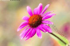 Auringonhattu - Echinacea purpurea auringonhattu kaunopunahttu koristekasvi…