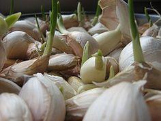 Klíčiace strúčiky cesnaku