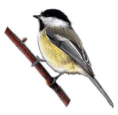 The National Bird Project - Canadian Geographic Black Capped Chickadee, Woodland, Art Ideas, Tattoo Ideas, Creatures, Birds, Illustration, Animals, Image