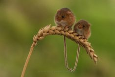 https://flic.kr/p/ihnLUu | Harvest Mouse by Peter Smart
