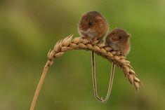 https://flic.kr/p/ihnLUu   Harvest Mouse by Peter Smart