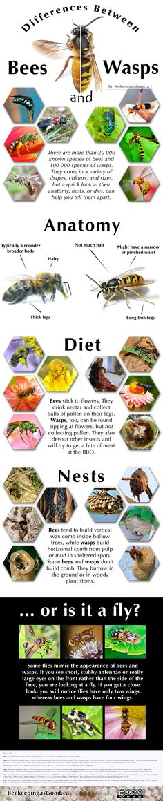 The differences between bees, wasps and flies