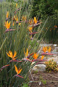 Espécie herbácea rizomatosa, ereta, entouceirada, acaule, florífera pertencente a família botânica Musaceae, com porte de até 1.80 mts...