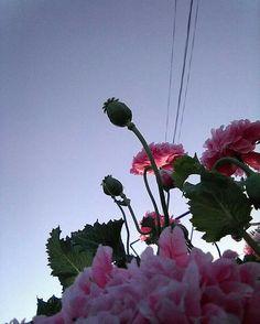 #flowers #sky #pink #evening