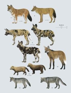 Plate 23 of Volume 1 Family Canidae (Dogs) Author: Toni Llobet Volume: Handbook of the Mammals of the World - Rare Animals, Animals And Pets, Strange Animals, Cute Baby Animals, African Wild Dog, Animal Species, Endangered Species, Animal Posters, Animal Facts