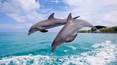Two+Dolphins+-+Dolphins+Wallpaper+ID+1865347+-+Desktop+Nexus+Animals