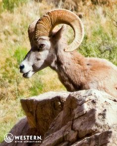 A Big Horn Sheep in the Grand Canyon.