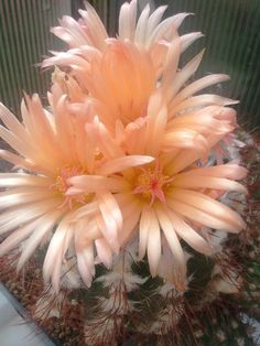 (old name: Notocactus sp. Pretty Flowers, Planting Flowers, Unusual Flowers, Amazing Flowers, Beautiful Flowers, Cacti And Succulents, Cactus Plants, Orchids, Planting Succulents