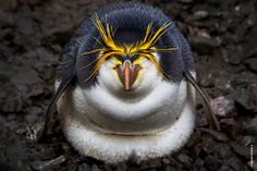 A royal penguin catches a few winks as it warms the newly hatched chick on a cold day in the rookery on Macquarie Island.