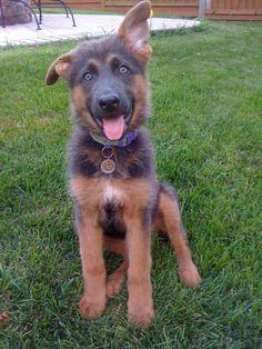Blue German Shepherd   My little blue baby at 12 weeks! - German Shepherd Dog Forums