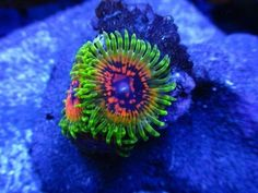 Coral and Live Rock 177797: Hallucination Paly Palythoa Zoa Zoanthid Polyps Frag Rare Live Coral -> BUY IT NOW ONLY: $199.99 on eBay!