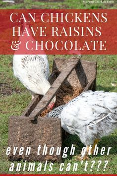 What Can Chickens Eat, Pet Chickens, Raising Chickens, Chickens Backyard, Chicken Eating, Chicken Feed, Canned Chicken, Like Chocolate, Love Eat