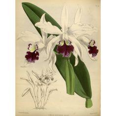 Laelia Elegans Alba Orchid