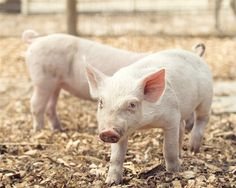 Piglet Barnyard Photo  8x10 Color or Black and by StephsShoes, $20.00