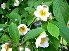 Vancouver's 10 top street trees | Vancouver Sun  4. Stewartia pseudocamellia (Japanese stewartia): One of the best trees for year-round interest, this has large, creamy white, camellia-like flowers in summer and foliage that turns brilliant scarlet in fall.    Where to see it: 7800 Matheson