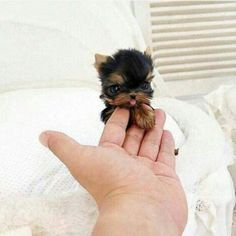 26 Teeny Tiny Puppies Guaranteed To Make You Say Awww! Question: Who loves tiny puppies? Correction: Everyone! Everyone loves tiny puppies! Tiny Puppies, Cute Dogs And Puppies, Doggies, Adorable Puppies, Fluffy Puppies, Miniature Puppies, Cute Pets, Baby Dogs, Cute Small Dogs
