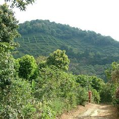 """#FabFactFriday Our El Salvador Monte Sion Estate coffee is grown in grids on the mountainside which has led the mountain to being nicknamed locally as """"waffle mountain"""" (Photo credit: Monte Sion Estate)  #coffeeiseducational #COTM #CoffeeOfTheMonth #elsalvador #montesionestate #volcanic #CordilleraDeApaneca #panorama #wafflemountain #FreshCoffee #coffee #caffeine #coffeeaddict #coffeelovers #freshlyroasted #coffeebeans #qualitybeans #zabucoffee #coffeetime #coffeebreak"""