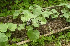Огурцы подкормка в открытом грунте