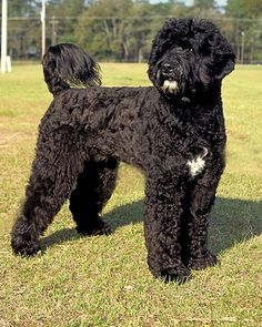 we are looking at hypoallergenic dogs for when the time comes. Portuguese Water Dog is a fun idea! so cute