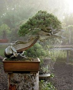 Bonsai - Rocky Mountain Juniper