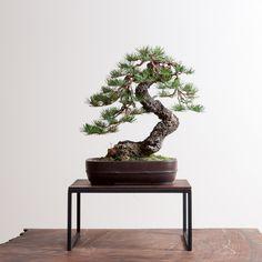 douglas fir -Pseudotsuga menziesii subsp. glauca