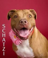 Schatzi is an adoptable American Staffordshire Terrier Dog in Torrance, CA. This darling beauty is a senior pibble sweetie who has been let down by her people for years and years. Wel...