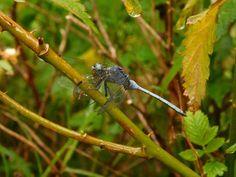 Blue dragonfly #kzn #kwazulunatal #southcoastkzn #kznsouthcoast #southportkzn #dragonfly Blue Dragonfly, Coast, Animals, Animales, Animaux, Animal, Animais, Seaside, Dieren