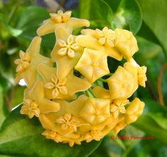 Hoya kenejiana Schltr. 1913 is a tropical waxflower vine, native to Papua New Guinea, where it has been collected in the year 1908 by the German botanist Friedrich Richard Rudolf Schlechter (1872-1925).