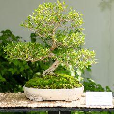 Die 194 Besten Bilder Von Bonsai Gestaltung Pflege In 2019 Bonsai