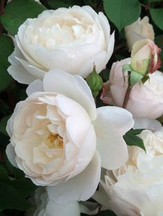 Love Rose, Pretty Flowers, Colorful Flowers, Amazing Flowers, White Roses, White Flowers, Red Roses, David Austin Rosen, Rose Foto