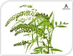 Allergia ►Országszerte jelentősen visszaesett a parlagfű pollenkoncentrációja. Várhatóan nem is lesz már emelkedés. Ugyanakkor lassabb a javulás a Nyírségben és a Tiszántúlon. Itt ajánlatos fokozottan elkerülni a mezőgazdasági területeket, dűlőutakat. Az ÁNTSZ felhívja a figyelmet: a parlagfűre érzékenyeknek továbbra is számítaniuk kell arra, hogy tüneteik jelentkezhetnek.   http://www.ambulanciak.hu/index.php/allergia-ambulancia/