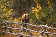 ~ photographer : Nate Zeman - Black Bear (Ursus americanus), walking on top of an old fence to reach the higher berry bushes that it otherwise couldn't manage. Grand Teton National Park, Wyoming.
