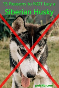 If you're thinking of getting a Siberian Husky and believe there are no good reasons not to, here's an article you'll b glad you read first! Sphynx Cat, Siamese Cats, Siberian Husky Facts, Siberian Huskies, Husky Training, Maine Coon Cats, Dog Paws, All Dogs, French Bulldog