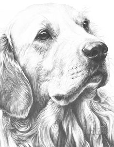 Golden Retriever Large Superb Quality Giclee Print By Mike Sibley - - jpeg Pencil Drawings Of Animals, Dark Art Drawings, Animal Sketches, Art Drawings Sketches, Realistic Drawings, Cute Drawings, Chien Golden Retriver, Golden Retriever Art, Puppy Drawing