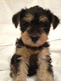Miniature schnauzer cross breed puppies for sale