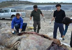 Este artículo es sobre la contaminación del mar. Una ballena de esperma fue encontrada en la costa de España. La ballena murió comiendo comiendo plástico de los invernaderos en la costa. Este artículo muestra la importancia del reciclaje. Si las personas reciclan el plástico entonces la ballena no habría muerto.