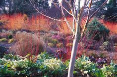 The Winter Garden at Bressingham Gardens, Norfolk, UK, March, late winter. Cornus sanguinea 'Midwinter Fire', Common Dogwood, Cornus alba 'Sibirica', Chionochloa rubra, Snow Glory, Birch Trees, Helleborus nigercors, Hellebore.